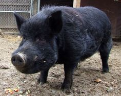 The Guinea Hog is a small, black breed of swine that is unique to the United… Pig Breeds, Pot Belly Pigs, Pig Pen, Pig Farming, Animal Science, Small Breed, Livestock, Farm Animals, Sheep