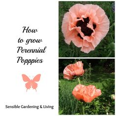 How to grow perennial Poppies with Sensible Gardening and Living