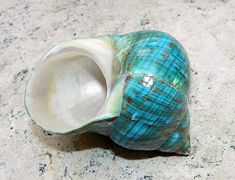 Shell www.annamariaislandhomerental.com Facebook: Anna Maria Island Beach Life Twitter: AMIHomerental #Shells #Sesshell