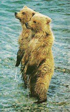 Brown bear cubs in Alaska National Geographic   September 1975