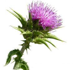 Ismerd meg a máriatövist. Milk Thistle Extract, Herbal Extracts, Wild Flowers, Herbalism, Dandelion, Seeds, Exterior, Health, Plants