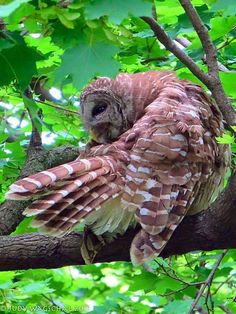 Types Of Monkeys, Barred Owl, Raptors, Bird Feathers, Pet Birds, Beautiful Images, Wildlife, Goth, Pictures