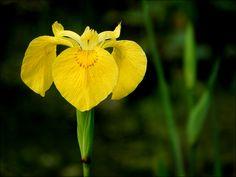 Wasserschwertlilie - Jahreszeiten - Galerie - Community