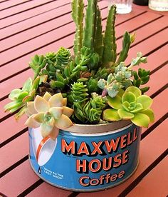 Closeup of succulents in old tin can.