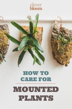 Mounted plants are everywhere! They're a fun way to display epiphytic plants like Hoyas, Bromeliads, Ferns, & more. Now that you've brought one home, it's time to care for it the right way. Learn How To Care For Mounted Plants by Clever Bloom #mountedplants #plantcare #houseplants Indoor Cactus Plants, Indoor Flowering Plants, Best Indoor Plants, Cool Plants, Air Plants, House Plants Decor, Plant Decor, Rubber Plant Care, Acid Loving Plants