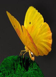 Yellow butterfly - mamietitine