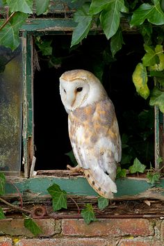 Barn Owl in ivy window by Phil Mclean MoreYou can find Barn owls and more on our website.Barn Owl in ivy window by Phil Mclean Owl Bird, Bird Art, Pet Birds, Beautiful Owl, Animals Beautiful, Cute Animals, Owl Photos, Tier Fotos, Colorful Birds