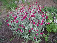Rose Campion or Lychnis. Loves full sun, but will also bloom in part shade. Blooms with dark rose pink blossoms about the size of a quarter on 1 to 2 ft tall stems. The leaves are silver and velvety to the touch. Very drought tolerant. Hardy in zone 5.