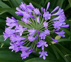 agapanthus-purple-flowers1.jpg (610×531)