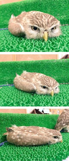 Funny pictures about Flat Mode. Oh, and cool pics about Flat Mode. Also, Flat Mode photos. Funny Owls, Funny Birds, Cute Funny Animals, Owl Photos, Owl Pictures, Beautiful Owl, Animals Beautiful, Owl Bird, Pet Birds