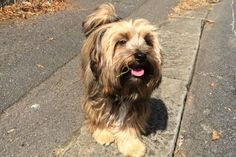 Man viciously killed while trying to protect his Yorkie from a Staffordshire Bull Terrier mix (a pit bull not recognized as a pit bull in the UK.) Rollo the Yorkie was injured, but survived after seeing his owner killed. (Aug 2016, UK)