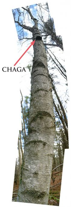 #Chaga Foraging in Winter.  Just heard about Chaga and want to give it a try!!! It's supposed to be really good for you.