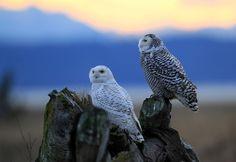 Snowy owl (Bubo scandiacus)シロフクロウ