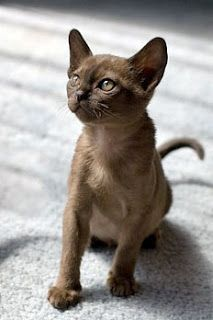 Burmese cats for sale colorado