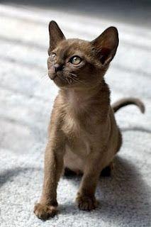 Birmanês | Gatos de Raça | TUDO GATO - Pra quem é curioso como eles...