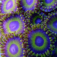 Purple and green sea anemones