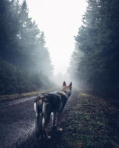 Mister Woof Loves... Beautiful Dogs, Animals Beautiful, Animals And Pets, Cute Animals, Czechoslovakian Wolfdog, Wolf Husky, Hiking Dogs, Wild Creatures, Mystique
