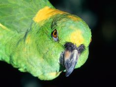 Many people are surprised to learn that birds, primarily parrot breeds, live a long time. On average, pet birds live between 20 and 80 years, which compared Amazon Birds, Amazon Parrot, Ansel Adams, Exotic Birds, Colorful Birds, Bird Pictures, Animal Pictures, Nature Animals, Animals And Pets