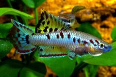 Lyretail Killifish Lyretail Killifish