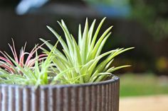 Summer is in full swing and this means longer days, fun in the sun, and warmer weather for your air plants. We normally recommend that your air plant care regimen be adjusted based on your environment as well as the type of air plant. Types Of Air Plants, Air Plants Care, All Plants, Plant Care, Indoor Plants, Air Plant Terrarium, Terrariums, Large Flower Pots, Plant Health