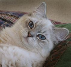 Ragdoll Cats and Kittens, Colorado, Colorado Ragdoll Cats..love that Lynx face