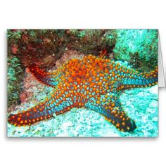 Lounging Sea Star ~ 5x7 Folded Greeting Card. I love the colors in this fat orange and turquoise sea star, photographed in the Sea of Cortez.  See more travel-inspired products at www.zazzle.com/wheresqtraveldreams*