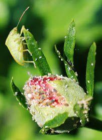 Il mondo in un giardino: Rimedi naturali anti afidi