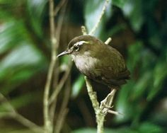 Bush wren- extinct. Photo of bird that died in captivity during attempted rescue operation. Big South Cape Island, Stewart Island, 1964-9