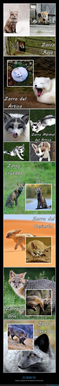 ZORROS - Éstas son algunas de las especies más hermosas