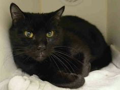 PANTHER - A1109728 - - Manhattan ***TO BE DESTROYED 05/01/17*** GENTLE WITH KIDS AND PERFECTLY HEALTHY – BEAUTIFUL PANTHER WAS DUMPED AT THE SHELTER FOR MOVING – SHE NEEDS YOU TONIGHT TO SAVE HER LIFE. RESERVE BY NOON! - Click for info & Current Status: http://nyccats.urgentpodr.org/panther-a1109728/