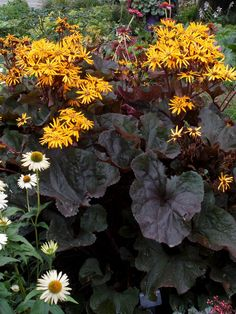 Ligularia Britt-Marie Crawford, late summer - early fall, 3-4'