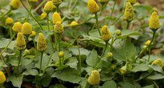 O jambu (Acmella oleracea) é uma hortaliça nativa da região amazônica mas que atualmente é cultivada em diversas regiões do mundo.A planta recebe diversos nomes populares como por exemplo: agrião-do-pará e agrião-da-amazônia.As folhas, flores e seus ramos podem ser consumidos crus em saladas e também em pratos cozidos, refogados ou assados.A espécie também é usada como condimento e erva medicinal. Tem um sabor bastante peculiar, principalmente as flores que produzem uma leve sensação de…