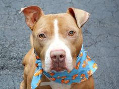 SAFE -  01/31/2015! Manhattan Center-P. My name is BARNES. My Animal ID # is A1024634. I am a male tan and white pit bull mix. The shelter thinks I am about 1 YEAR 6 MONTHS old.  For more information on adopting from the NYC AC&C, or to  find a rescue to assist, please read the following: http://urgentpetsondeathrow.org/must-read/