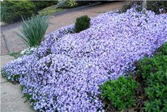 Creeping phlox-I love this so much, but the color doesn't last long. Still, it's great ground cover for uneven areas.