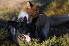 Der Fuchs, der einen Freund suchte und fand. A fox and his best friend, a German shepherd.