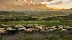 The herd | Image source: Pexels.com