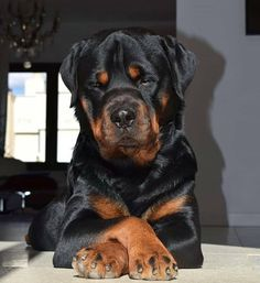 You know humans I often look at you and think: wow you guys are very lucky to have me . You know humans I often look at you and think: wow you guys are very lucky to have me . German Rottweiler, Rottweiler Breed, Cute Puppies, Cute Dogs, Dogs And Puppies, Funny Dogs, Doggies, Big Dogs, I Love Dogs