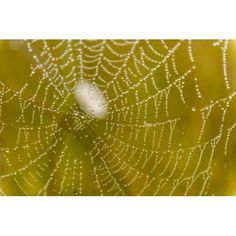 Morning dew on a spider web near Silver Salmon Creek in Lake Clark National Park & Preserve Alaska Canvas Art - Carl Johnson Design Pics (19 x 12)