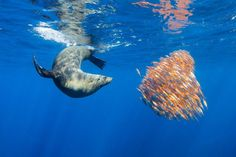 An Australian fur seal feeding on a bait ball of bright orange bellows fish in the blue waters of the Eastern Australian. The seal would skillfully heard these unique bright orange fish up like a cattle dog before busting through the ball taking one unlucky candidate at a time. Amazing to watch. Photograph by Mark Seabury