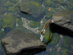 Gato saltando por las rocas de un río