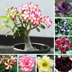 Gardening:Rose Garden Tips And Ideas Gardening Landscape Plans Garden Seating Planting Plan Climbing Rose Flower Yard Decor Small Backyard Land Planters Adenium Obesum Seeds Rainbow Desert Font B Rose B Font Seeds Bonsai Plants Rose Garden Tips and Plans Ideas : How to Grow a Rose Garden in Pots and Other Flower Container