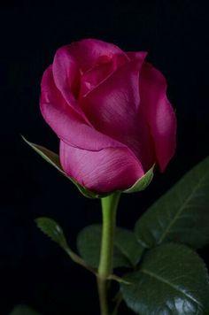 pretty by night Beautiful Rose Flowers, Wonderful Flowers, All Flowers, Exotic Flowers, My Flower, Cactus Flower, Purple Flowers, Lavender Roses, Pink Roses