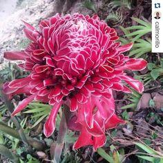 #Repost @calmorillo with @repostapp  A veces necesitamos desconectarnos y disfrutar sin estrés de la naturaleza de un paseo con la familia en la montaña. Que mejor sitio que Pozo Suruapo?  Gracias por la atención @pozosuruapo  #pozosuruapo #inspiredbynature #nature #flower #flowerstragam #joy #zen #peace #instanature #picoftheday #floweroftheday #flowerslovers #philippinewaxflower #bastondeemperador #flowersofinstagram #instaflowers #buddha #namaste #aikido