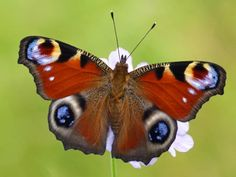 Gardening for butterflies Welsh Words, Well Thought Out, Beautiful Butterflies, Habitats, Insects, Butterfly, Animals, Roots, Gardening