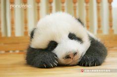 Panda Love, Cute Panda, Cute Baby Animals, Animals And Pets, Fur Babies, Panda Babies, Love Pet, Pet Care, Animal Pictures