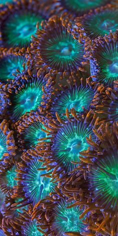 Zoanthids Coral - photo by Micro Worlds Photography