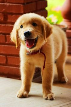 I love golden puppies! How can you not smile and feel happy just by looking at this picture?!