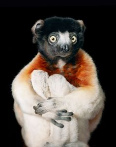 Endangered by Tim Flach. Crowned Sifaka (Propithecus coronatus) lemurs have a matriarchal social structure in which females are dominant over males. Matriarchy is rare in the animal kingdom as a whole but common among lemurs.