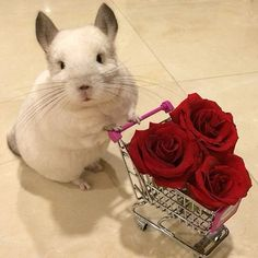 Bubu the Chinchilla getting some Roses for her Valentine