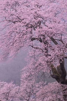 """Please Read First"" Originally for the Japanese aesthetic Wabi-Sabi. Beautiful World, Beautiful Gardens, Beautiful Flowers, Beautiful Places, Beautiful Pictures, Beautiful Nature Wallpaper, Beautiful Landscapes, Cherry Blossom Japan, Cherry Blossoms"